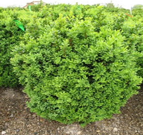 Welleri Boxwood